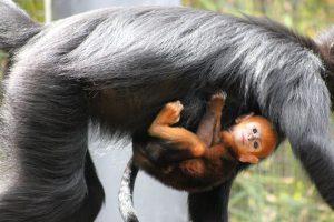 Es hijo de Meili, quien en 2011 dio a luz otro mono naranja. Foto:Vía Facebook.com/tarongazoo. Imagen Por: