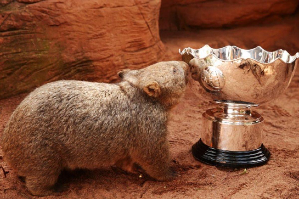 Son familia de los marsupiales y llaman la atención por su simpático aspecto. Foto:Getty Images. Imagen Por: