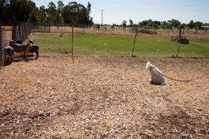 También ha estado haciendo labores de ovejero. Foto:facebook.com/beast.the.dog. Imagen Por: