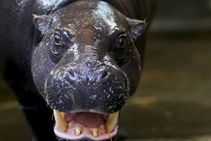 Los animales se han escapado de la Hacienda Nápoles, que perteneció a Pablo Escobar. Foto:Getty Images. Imagen Por: