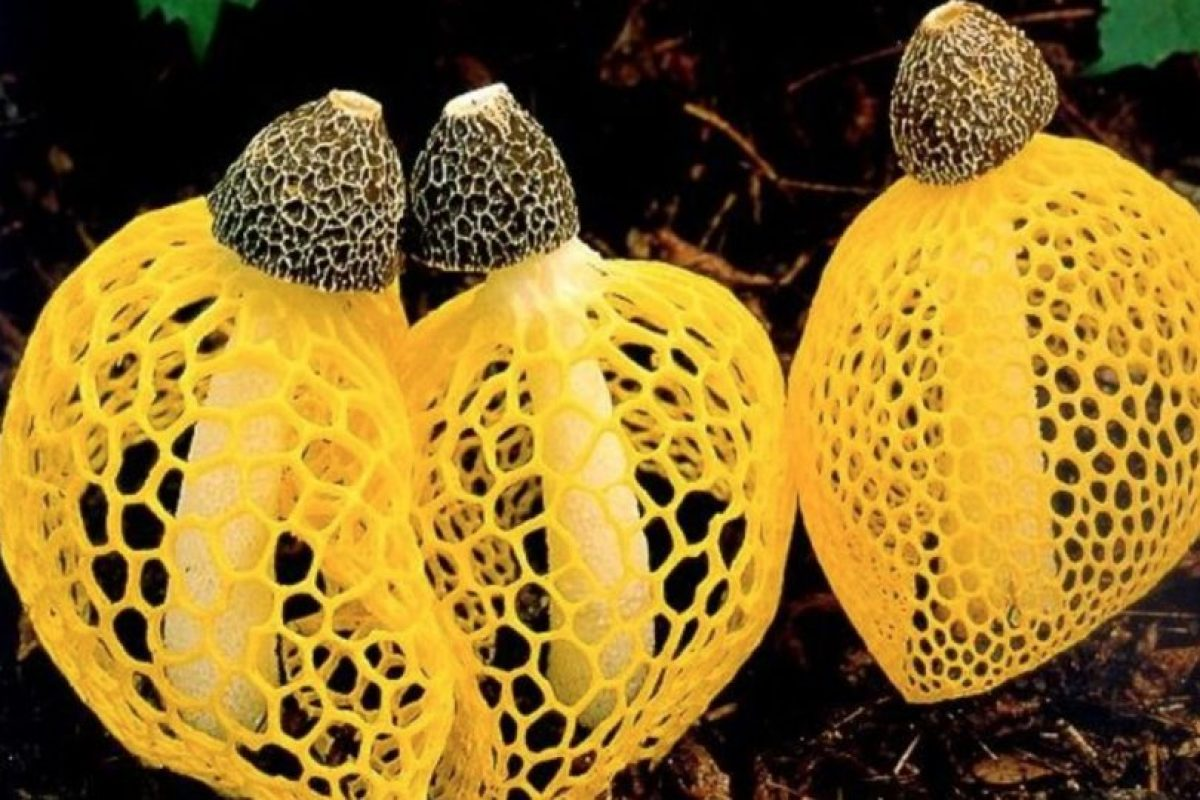 Este es el hongo Dictyophora o cucumelo Foto:Wikimedia. Imagen Por: