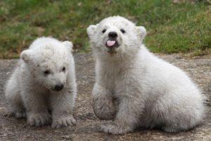 1. Conocer en vivo a un oso polar Foto:Getty Images. Imagen Por: