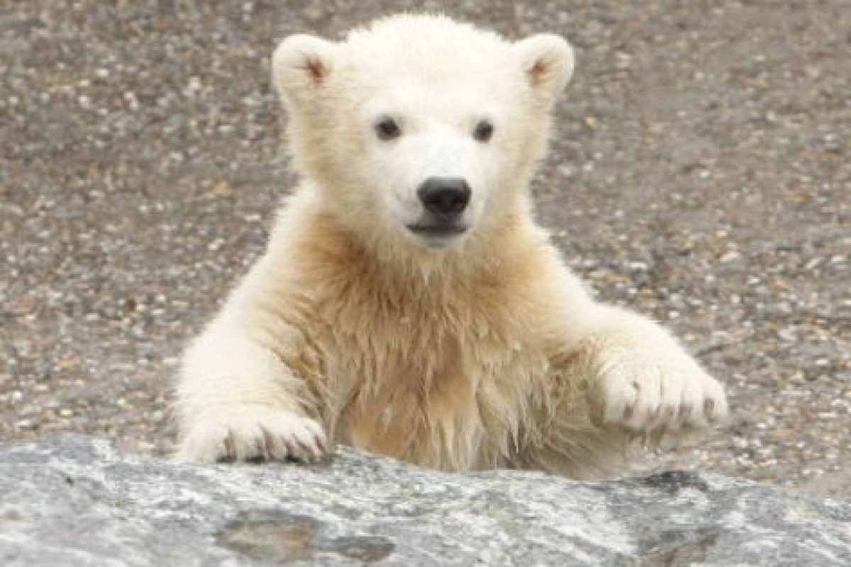 Actualmente quedan entre 20 y 25 mil ejemplares de estos osos Foto:Getty Images. Imagen Por: