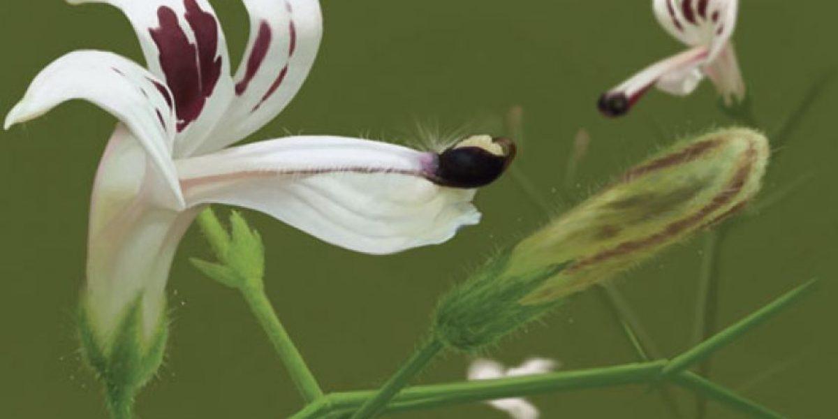 La pequeña flor con la que médico chileno buscar curar la distrofia muscular