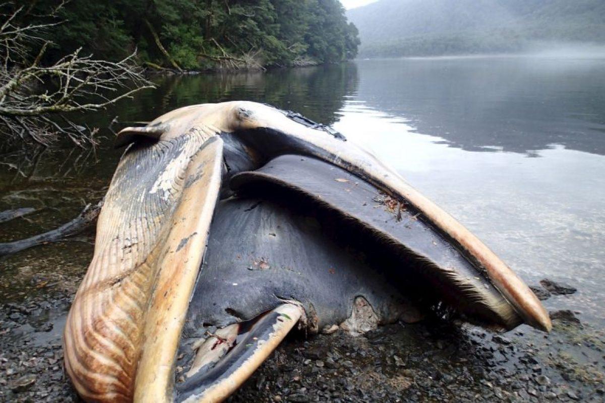 Científicos investigan lo que ocasionó la muerte de estas 337 ballenas. Foto:AP. Imagen Por: