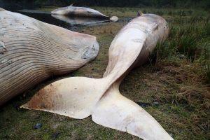 Su esperanza de vida es de 50 a 70 años, y por lo general se encuentran en aguas profundas lejos de las costas Foto:AP. Imagen Por: