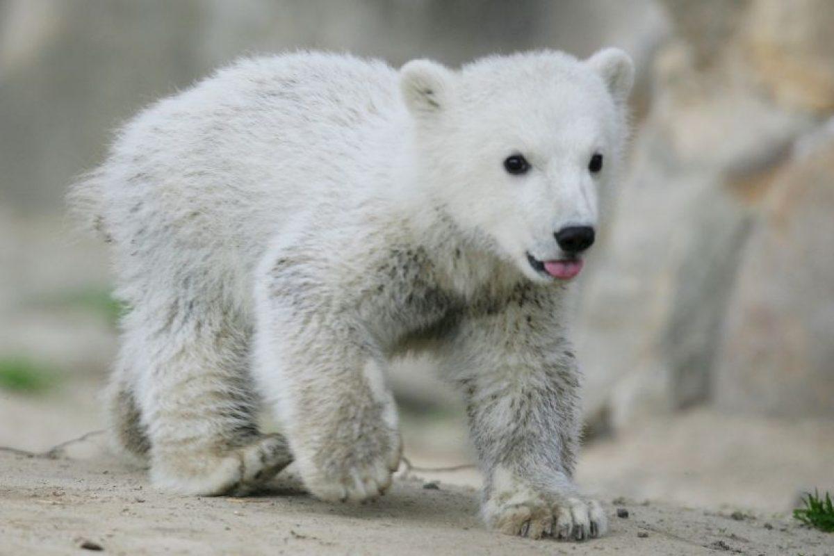 De acuerdo al Servicio Geológico de Estados Unidos, en el año 2050 podrían desaparecer dos terceras partes de todos los osos polares Foto:Getty Images. Imagen Por: