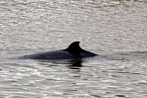 Este año matarán a 333 ballenas. Foto:Getty Images. Imagen Por: