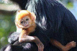 Es hijo de Meili, quien en 2011 dio a luz otro mono naranja en el Zoológico Taronga en Australia. Foto:Vía Facebook.com/tarongazoo. Imagen Por:
