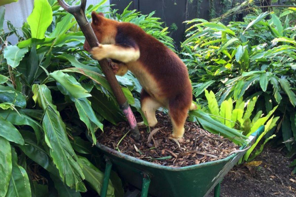 Es de color café naranja y por lo general se pasan en los árboles. Foto:Vía Facebook.com/tarongazoo. Imagen Por: