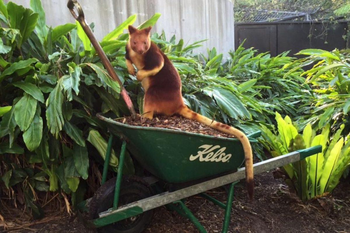 Se llama Sam y también vive en el Zoológico Taronga. Foto:Vía Facebook.com/tarongazoo. Imagen Por: