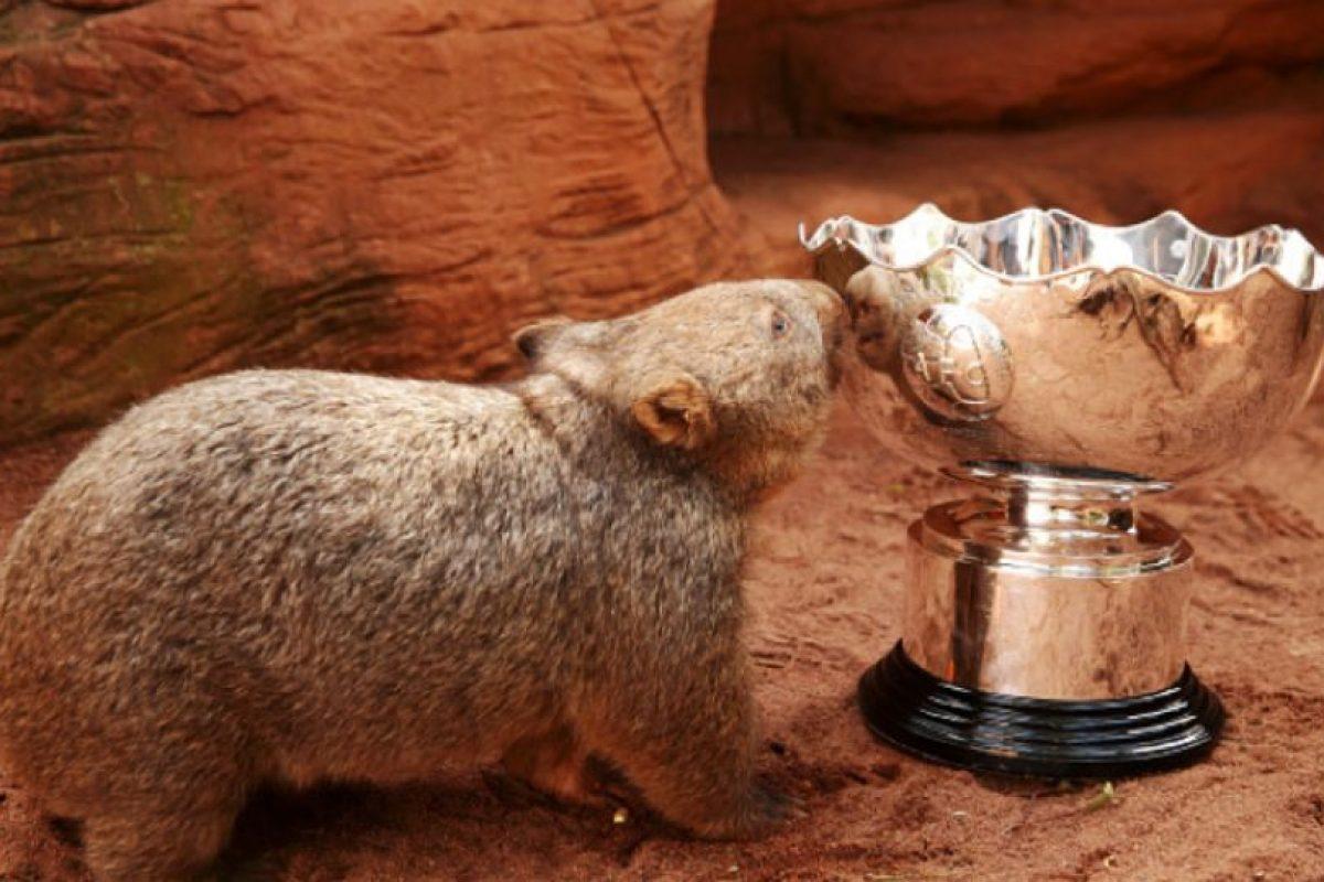 Son familia de los marsupiales y llaman la atención por su simpático aspecto. Foto:Vía Facebook.com/tarongazoo. Imagen Por:
