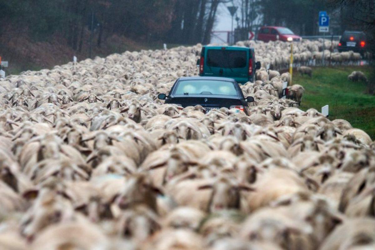Carros atrapados en un rebaño de ovejas en Alemania. Foto:AFP. Imagen Por: