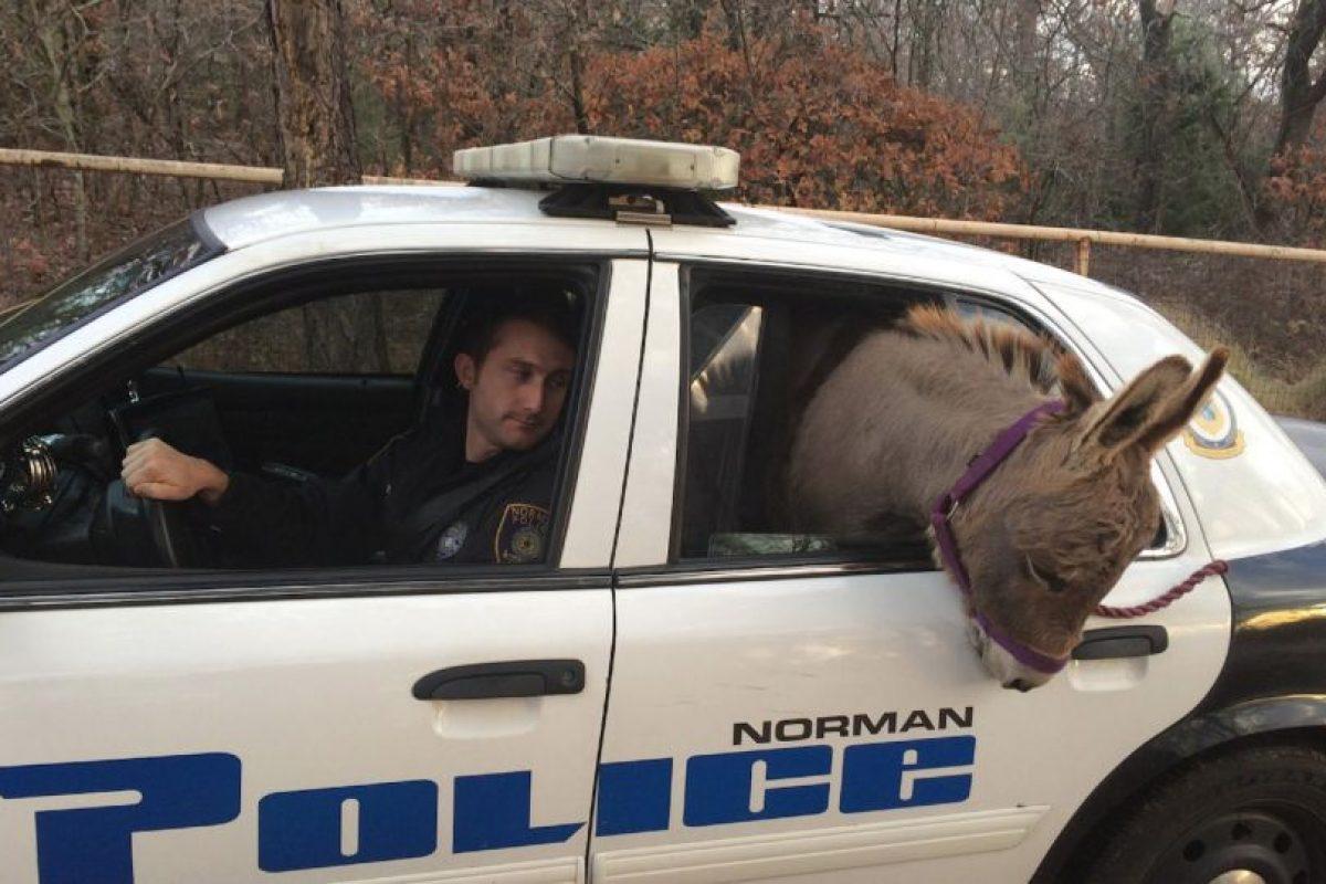 El animal se había escapado y andaba rondando en las calles de Norman, Oklahoma Foto:Vía facebook.com/City-of-Norman-OK-Police-Department. Imagen Por: