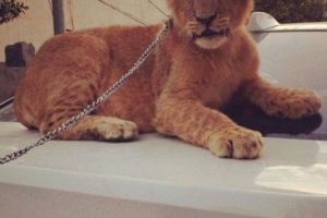 Y de mascota, este hermoso tigre. Foto:Vía Instagram/@omarborkan. Imagen Por: