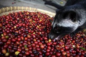 10. Café de civeta. Lo más importante que deben saber es que está hecho de heces de animales. Foto:Vía wikipedia.org. Imagen Por: