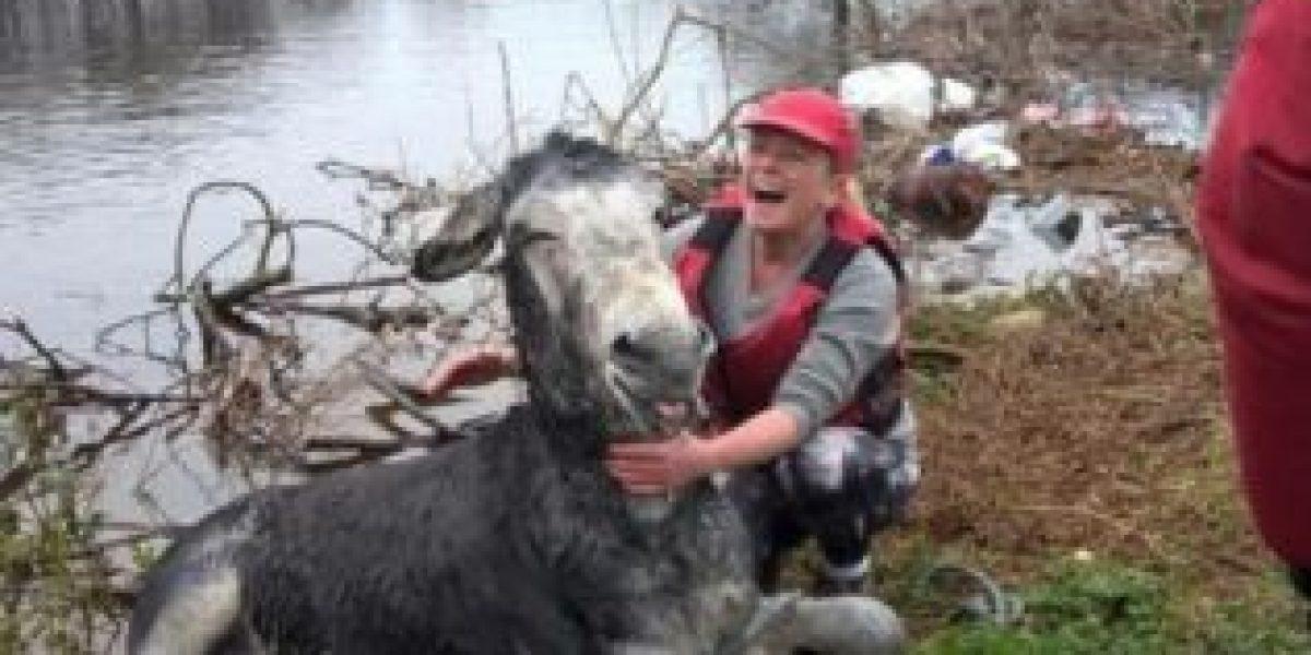 La hilarante forma en que este burro agradeció ser rescatado del agua