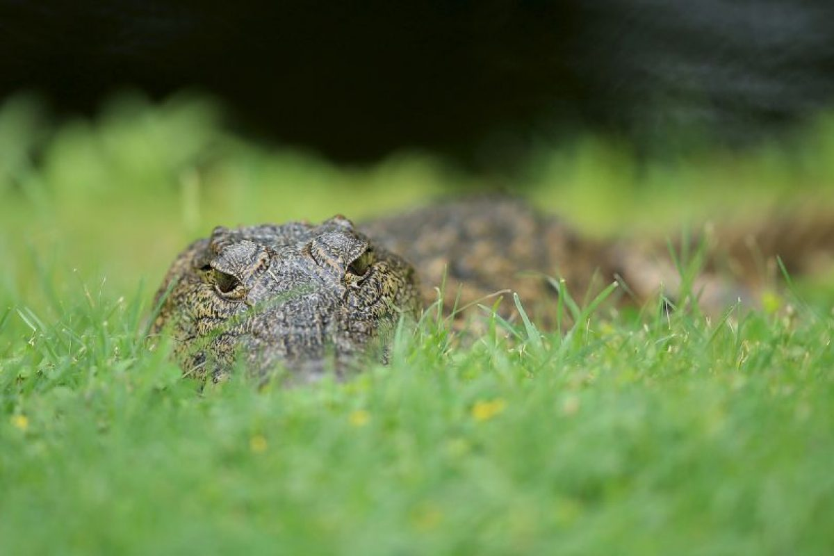 Las autoridades creen que mientras escapaba se descuido y se volvió presa del reptil. Foto:Getty Images. Imagen Por: