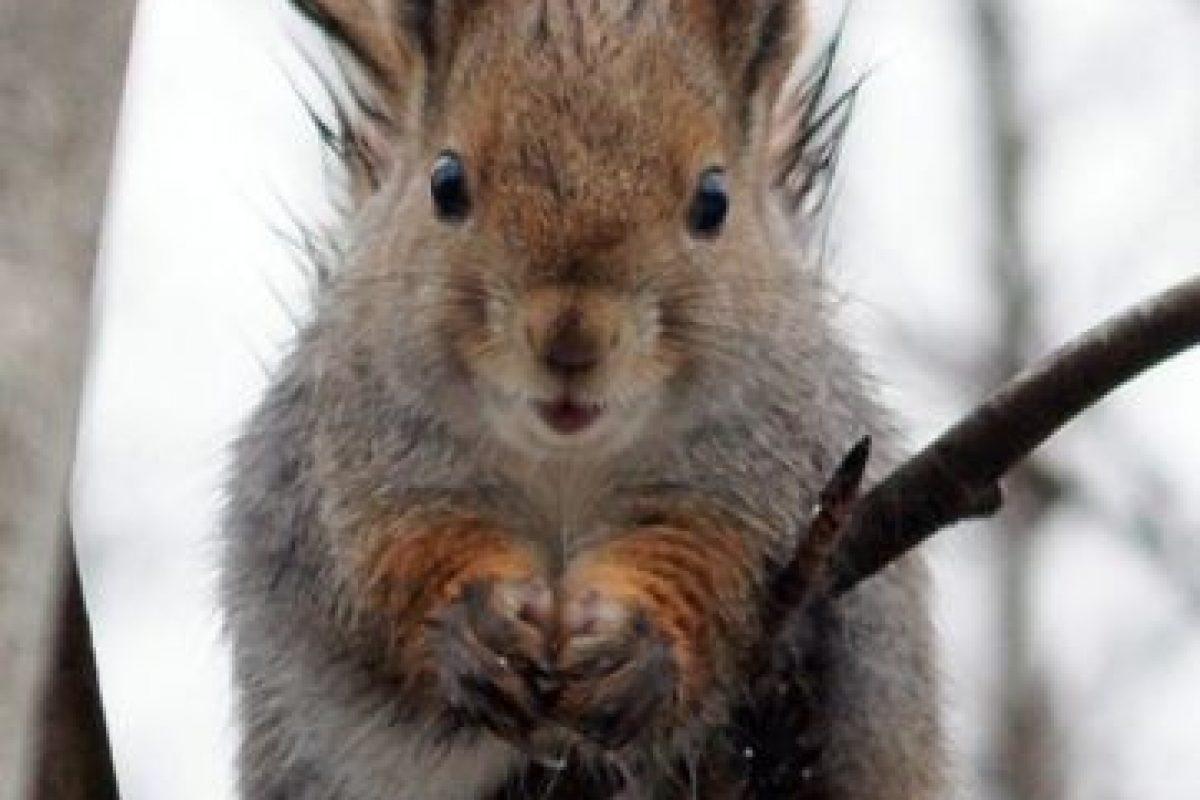 Las ardillas suelen vivir en bosques caducifolios o de coníferas. No obstante, algunas especies se encuentran adaptadas a vivir en hábitats que van desde la taiga al desierto. Foto:Pinterest. Imagen Por: