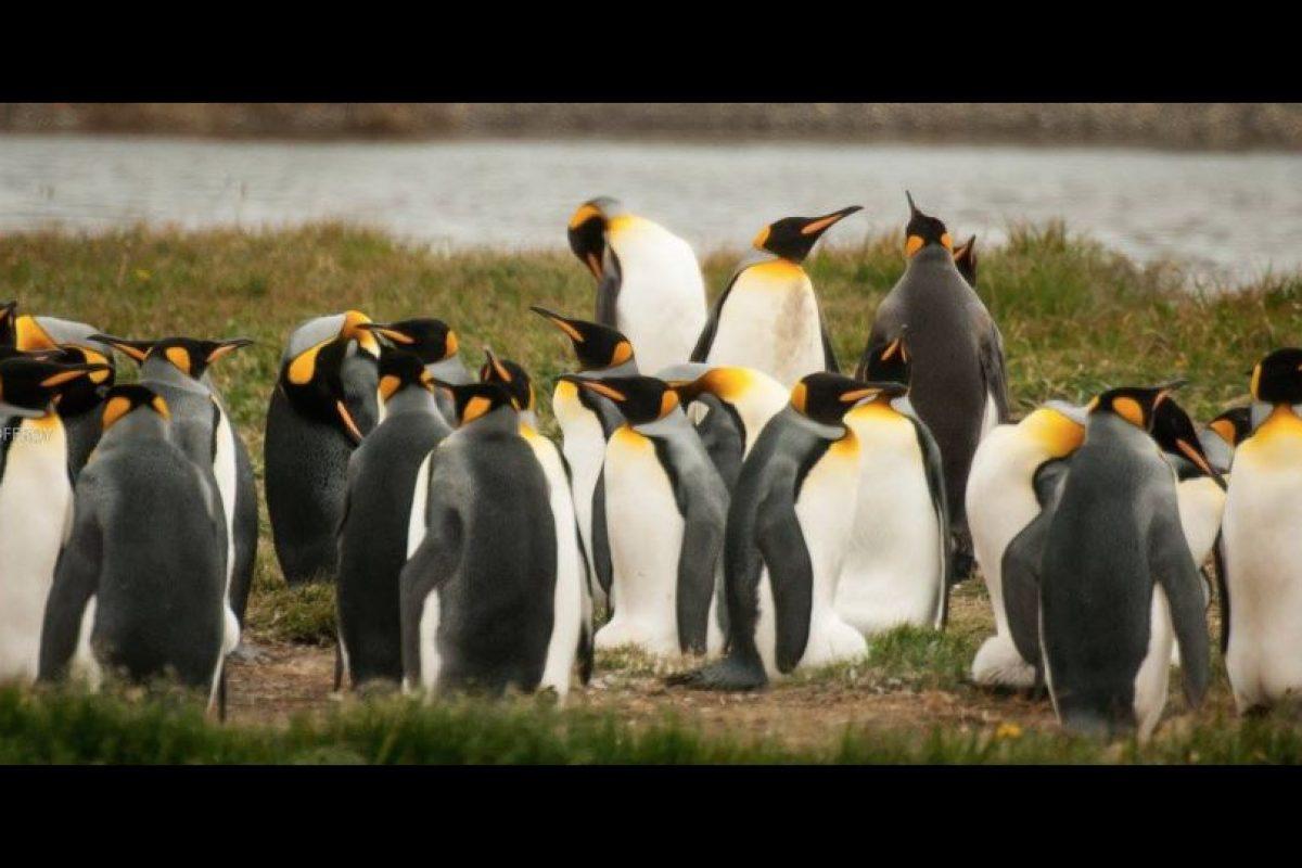 Pingüino Rey Foto:Gentileza Jorge Renan Geoffroy. Imagen Por: