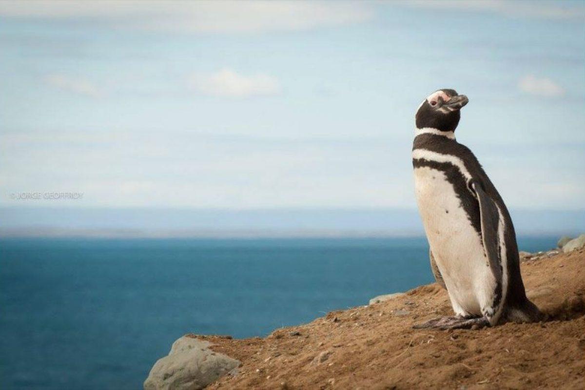 Pingüino Magallánico Foto:Gentileza Jorge Renan Geoffroy. Imagen Por: