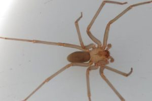 La picadura de esta araña da escalofríos, picazón, náuseas. Foto:vía Wikipedia. Imagen Por: