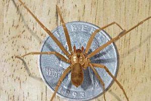 Vive principalmente en el sur de Estados Unidos. Si esta araña llega a picarlos, puede que sientan un escozor fuerte o nada en lo absoluto. Pero luego pueden sentir escalofríos, náuseas o sudoracón, entre otros síntomas. Luego se les formará una úlcera en el área de la picadura. En algunos casos más severos, la víctima puede presentar convulsiones y sangre en la orina. Foto:vía Wikipedia. Imagen Por: