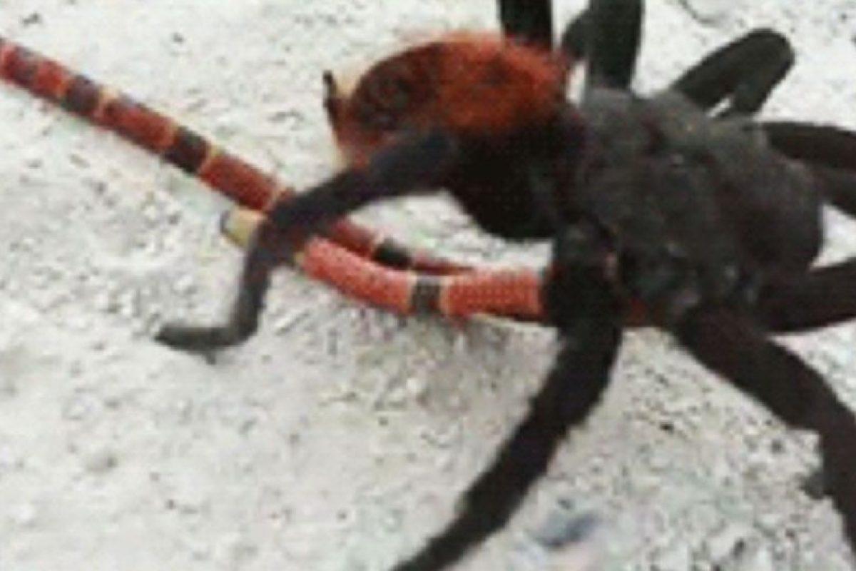 Pero hay arañas más mortíferas. Foto:vía Wikipedia. Imagen Por: