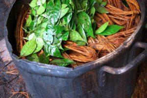 Es una bebida hecha de la cocción de la planta Banisteriopsis caapi, que tiene un significado espiritual para tribus indígenas de Sudamérica. Foto:vía Wikipedia. Imagen Por: