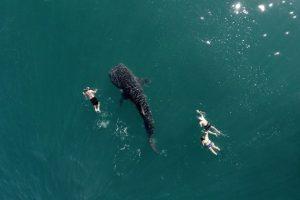 Tiburón ballena y buzos Foto:Vía Dronestagr.am. Imagen Por: