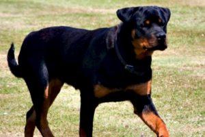 5. Yves es un Rottweiler que salvó la vida de su dueña, la estadounidense Katie Vaughan, una persona parcialmente paralizada que conducía su auto cuando de repente éste se detuvo. Foto:Vía Wikimedia.org. Imagen Por: