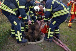 Un grupo de bomberos tuvo que rescatar a un burro que cayó en una coladera en Pratteln, Suiza, reseñó el portal británico Daily Mail. Foto:AFP. Imagen Por:
