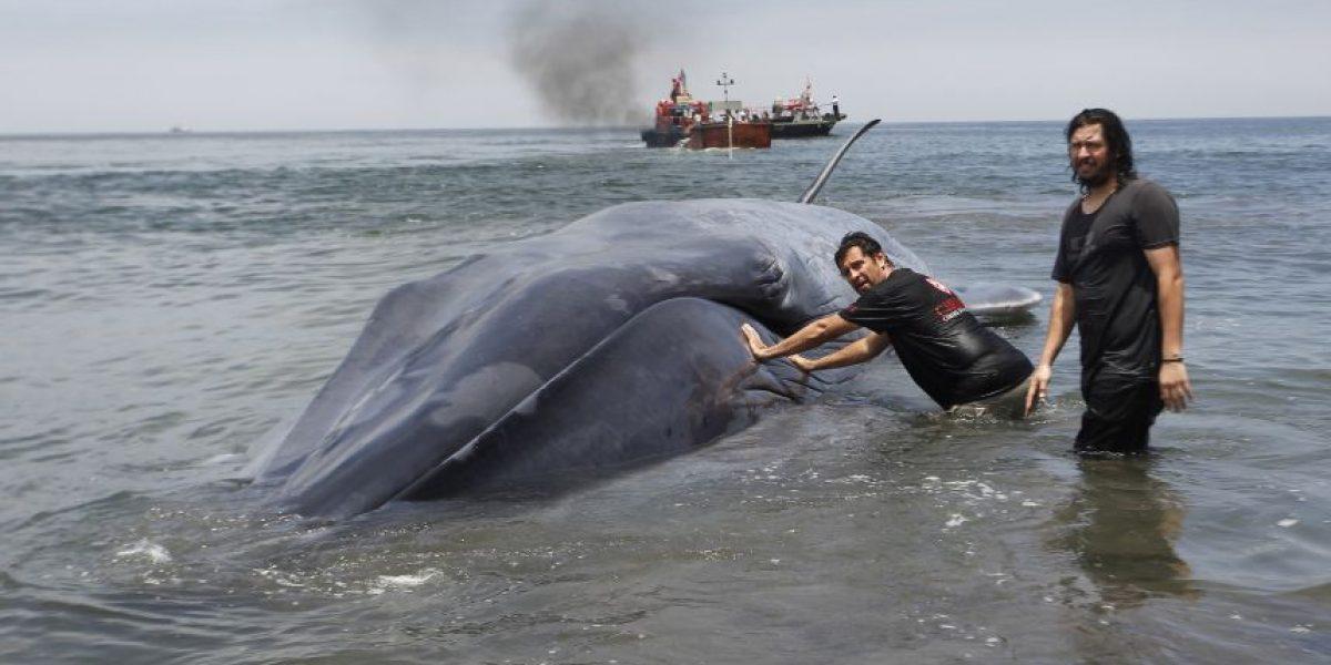 Ballena de 20 metros varada en las costas de Iquique suscitó operativo de emergencia