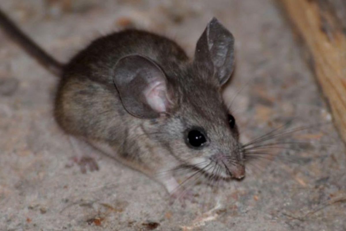 Este es un ratón, captado en la Tierra Foto:Wikimedia.org. Imagen Por: