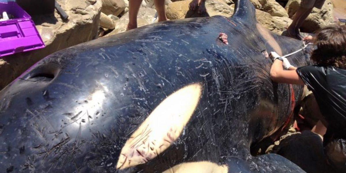 Descubrieron una orca encallada y lo que tenía en el estómago les partirá el corazón