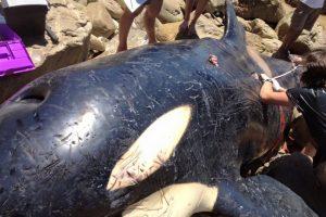 Esta es la orca encontrada en Sudáfrica Foto:Facebook.com/OrcaPlett. Imagen Por: