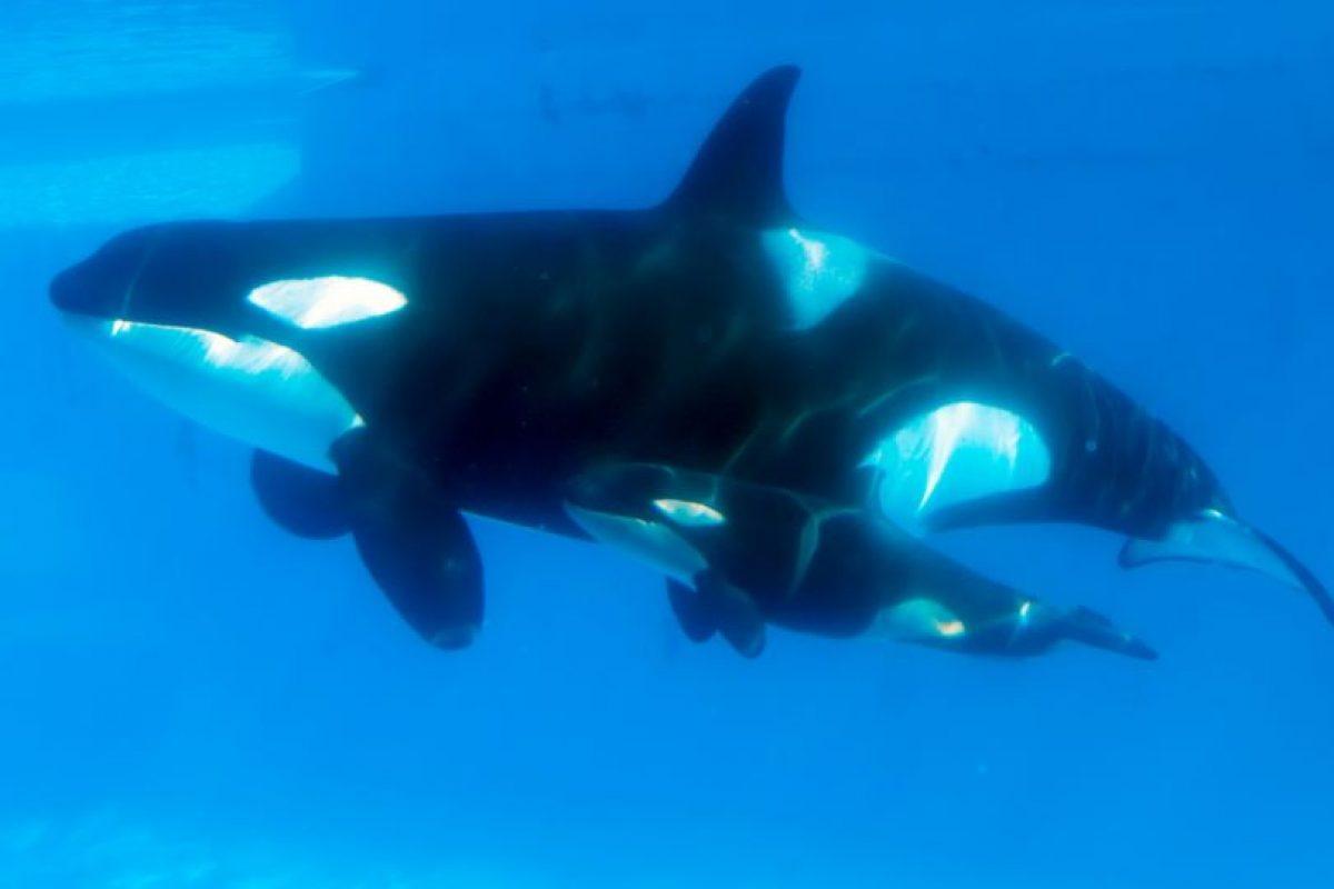 """Se les considera """"superdepredadoras"""" al no haber otros mamíferos que las ataquen Foto:Getty Images. Imagen Por:"""
