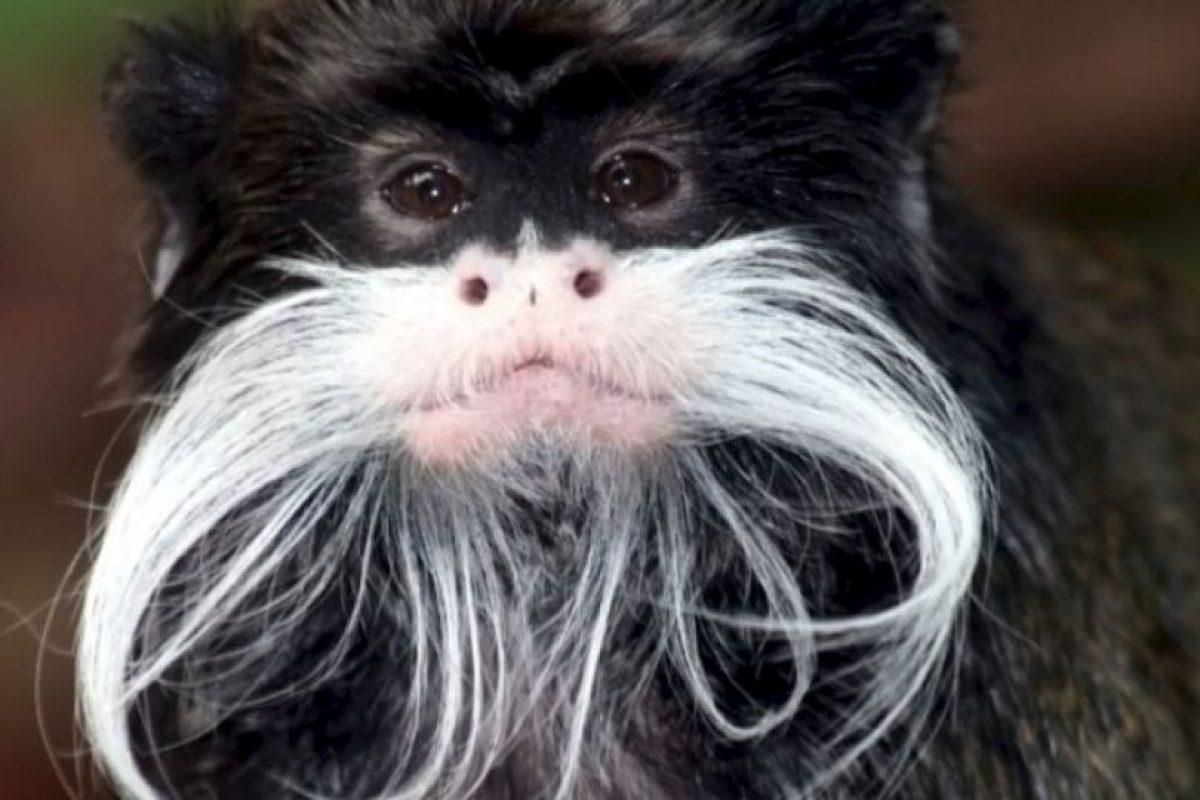 10. Tití bigotudo Foto:Wikipedia. Imagen Por: