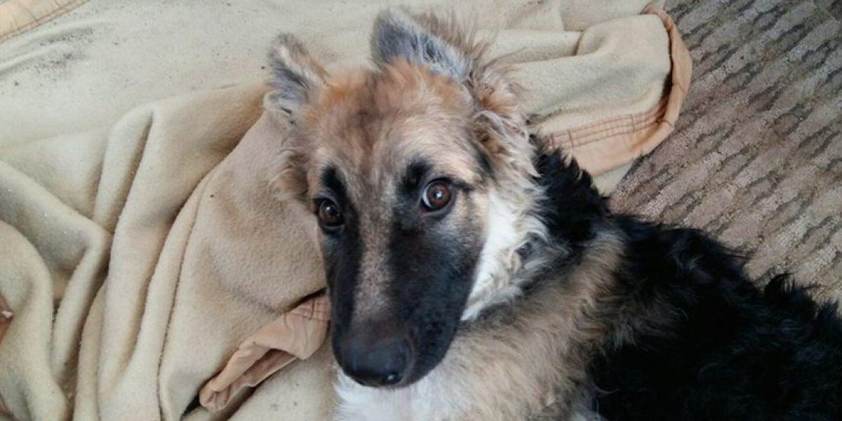 Iquique: cachorro perdió movilidad y debe viajar con urgencia a EEUU para dejar de sufrir