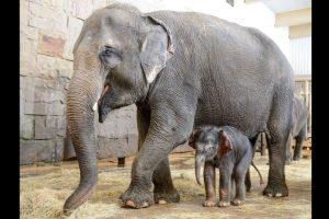 El pequeño es hijo de una elefanta de nombre Kiwa. Foto:Vía facebook.com/tierparkberlin. Imagen Por: