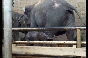 En el zoológico convivirá con elefantes africanos y asiáticos por igual. Foto:Vía facebook.com/tierparkberlin. Imagen Por: