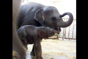 Asimismo, son los animales terrestres más grandes que existen en la actualidad. Foto:Vía facebook.com/tierparkberlin. Imagen Por: