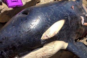 Luego que turistas encontraran a esta ballena encallada en una playa de Sudáfrica. Foto:Vía facebook.com/OrcaPlett. Imagen Por:
