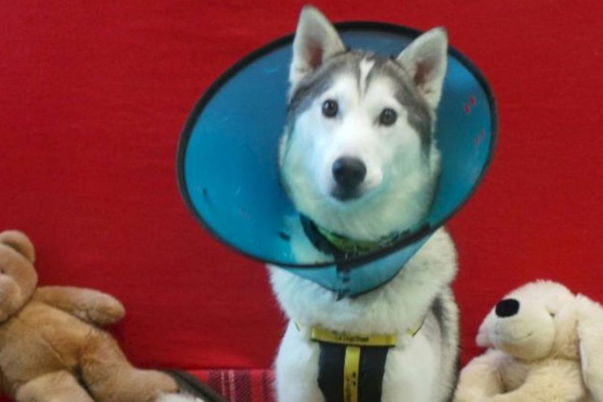 Ramsez ahora se esta recuperando Foto:Vía dogstrust.org.uk. Imagen Por: