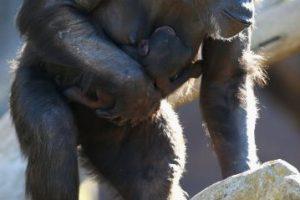Él fue el único sobreviviente del ataque de un grupo de chimpancés salvajes del Congo. Foto:Getty Images. Imagen Por: