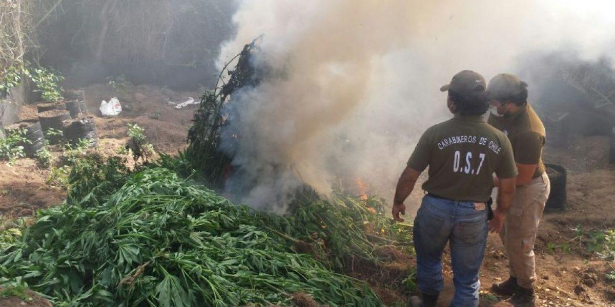 Carabineros destruye plantación de marihuana en Quintero avaluada en $600 millones