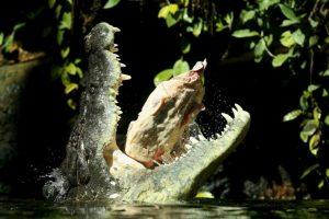 Los machos pesan entre 900 y mil 500 kilogramos (mil 900 a tres mil 300 libras). Foto:Getty Images. Imagen Por: