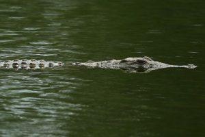 Es el cocodrilo de mayor tamaño del mundo Foto:Getty Images. Imagen Por:
