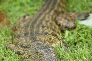 Según funcionarios de vida silvestre el ataque provino de un cocodrilo de aguas saladas. Foto:Getty Images. Imagen Por: