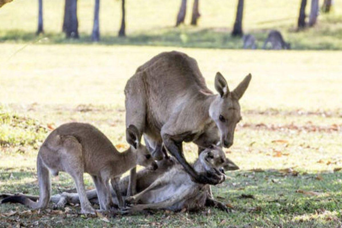 Una madre canguro agonizaba mientras su pareja, el macho, la sostenía para ver qué pasaba con ella. Foto:vía Ewan Switzer. Imagen Por: